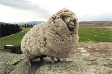 This dude (Shrek the sheep) underwent quite the transformation when he was sheared...
